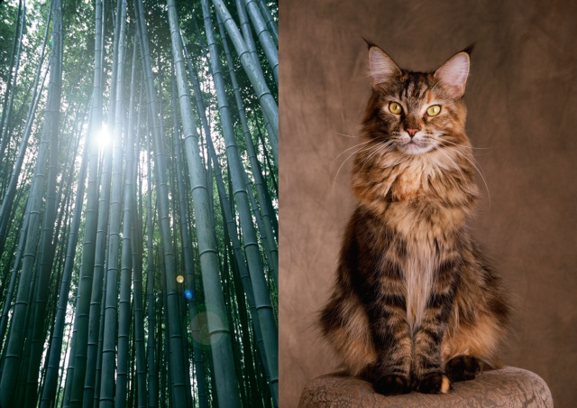 Bamboo, Kyoto / Maine coon cat