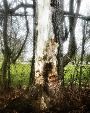 Tree with Lightning Scar