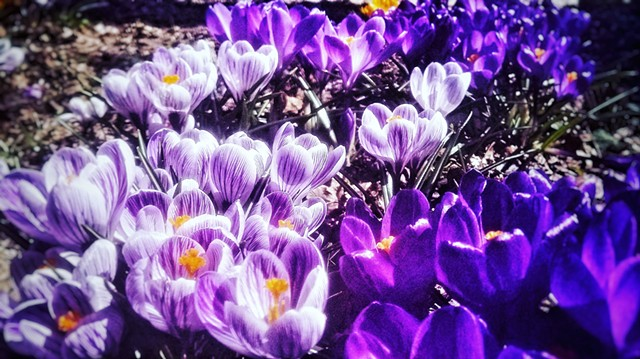 Crocus in the Sun