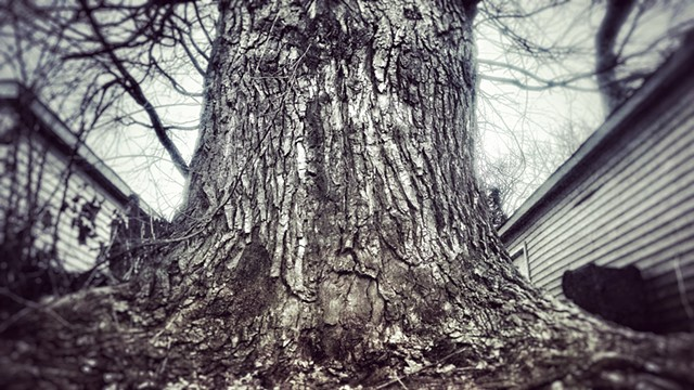 The Largest Tree in my Neighborhood