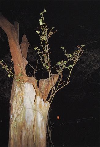 MORTON, MISSISSIPPI (BLASTED TREE)