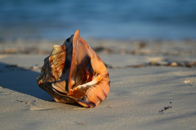 Conch Shell 1