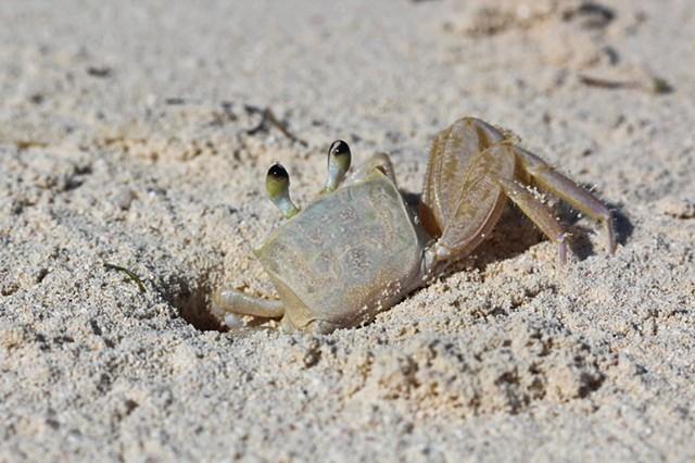 Sand Crab 1