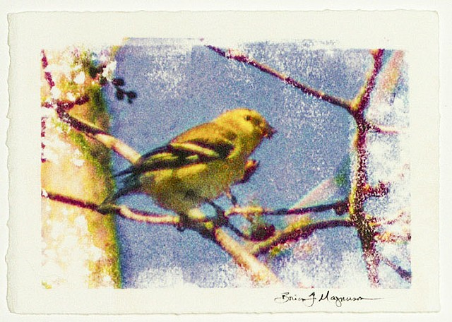 American Goldfinch Female (spinus tristis)