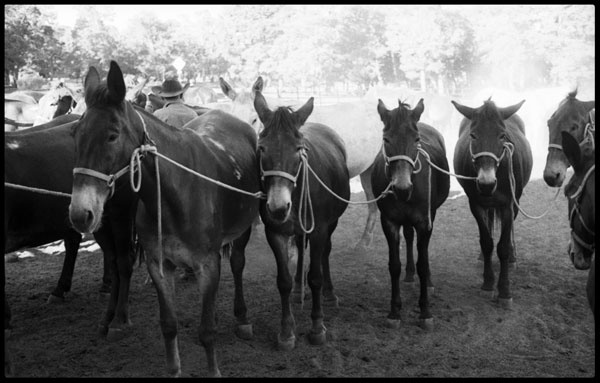 Mules roped together