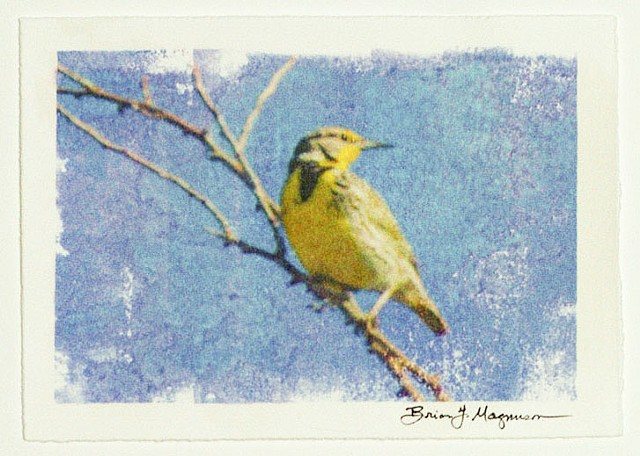 fine art photograph of western meadowlark